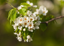 The spring flowering Stock Photo