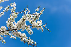 The spring flowering. Branches of flowering trees in spring stock photography