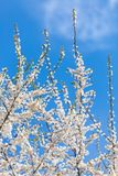 The spring flowering royalty free stock images