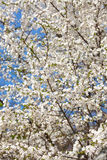 The spring flowering stock image
