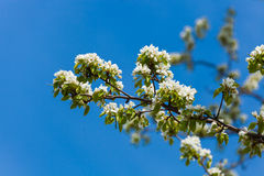 The spring flowering royalty free stock photography