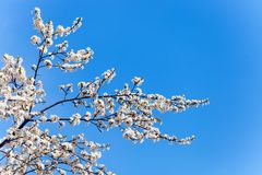 The spring flowering Royalty Free Stock Image
