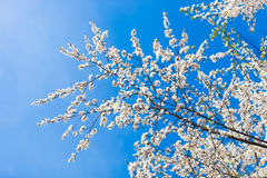 The spring flowering. Branches of flowering trees in spring stock image