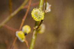 Spring flowering branches of willow. Stock Images
