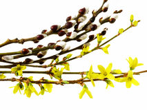 Spring flowering buds royalty free stock photo