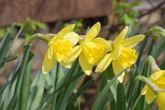Spring flowering bulb plants in the flowerbed. Flowers daffodil yellow Royalty Free Stock Photo