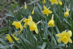 Spring flowering bulb plants in the flowerbed. Flowers daffodil yellow Stock Photography