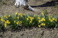 Spring flowering bulb plants in the flowerbed. Flowers daffodil yellow Royalty Free Stock Image