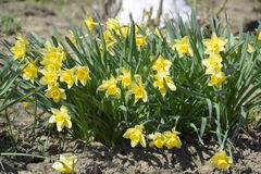 Spring flowering bulb plants in the flowerbed. Flowers daffodil yellow Stock Images