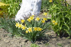 Spring flowering bulb plants in the flowerbed. Flowers daffodil yellow Royalty Free Stock Images
