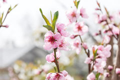 Spring flowering cherry cherry garden close-up for background splash Stock Photography