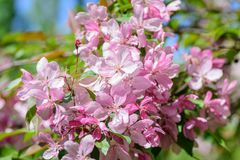 Spring flowering cherry tree Royalty Free Stock Photography