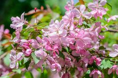 Spring flowering cherry tree Royalty Free Stock Photo