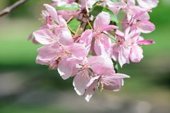 Spring flowering cherry tree Royalty Free Stock Images