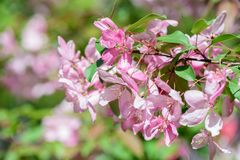 Spring flowering cherry tree Stock Images