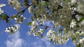 Spring flowering cherry tree with white flowers and blue sky. With clouds with the movement stock video footage