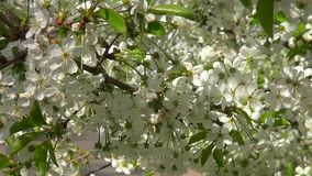 Spring flowering cherry tree with white flowers with the movement. Close stock video footage