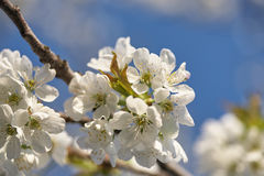 Spring flowering cherry, white flowers close-up Stock Image