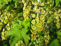 Spring flowering of currant Royalty Free Stock Photos