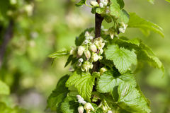 Spring flowering currant Royalty Free Stock Image