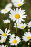 Spring flowering daisies. Royalty Free Stock Photography