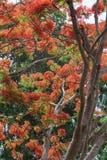 Delonix regia. Spring flowering Delonix regia. Thailand Chiang Mai Royalty Free Stock Photos