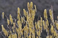 Spring flowering hazel. Spring flowering earrings hazel on a blurry background royalty free stock images