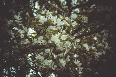 Spring flowering. Flowers bloom on the branches of trees in the spring Royalty Free Stock Photo