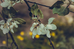 Spring flowering. Flowers bloom on the branches of trees in the spring Royalty Free Stock Image