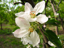 Spring flowering of fruit trees Stock Photography