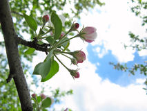 Spring flowering of fruit trees Royalty Free Stock Images