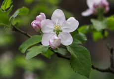 Spring flowering of fruit trees flowers   macro Royalty Free Stock Photography