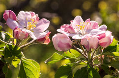 Spring flowering of fruit trees. And pollination with their insects bees Stock Photography