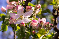 Spring flowering of fruit trees. And pollination with their insects bees Royalty Free Stock Photos