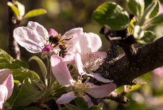 Spring flowering of fruit trees. And pollination with their insects bees Royalty Free Stock Photo