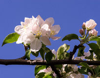 Spring flowering of fruit trees. And pollination with their insects bees Royalty Free Stock Images