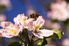 Spring flowering of fruit trees. And pollination with their insects bees Stock Photos
