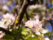 Spring flowering of fruit trees. And pollination with their insects bees Royalty Free Stock Photography
