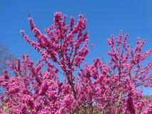 Spring flowering Judas Tree Royalty Free Stock Image