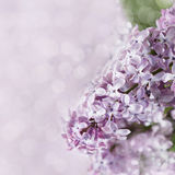 Spring flowering lilac with on blurred background Royalty Free Stock Image