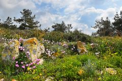 Spring flowering in the Lower Galilee, Israel. Landscape with blooming cyclomenes in a forest glade, spring flowering in the Lower Galilee, Israel stock photos