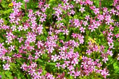 Spring flowering in the Lower Galilee, Israel. Sea of multicolored wildflowers in a forest glade, spring flowering in the Lower Galilee, Israel stock image
