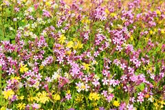 Spring flowering in the Lower Galilee, Israel. Sea of multicolored wildflowers in a forest glade, spring flowering in the Lower Galilee, Israel royalty free stock photos