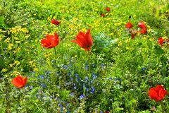 Spring flowering in the Lower Galilee, Israel. Sea of multicolored wildflowers in a forest glade, spring flowering in the Lower Galilee, Israel royalty free stock photo