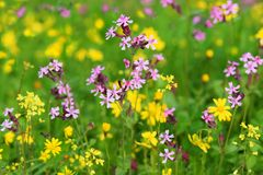 Spring flowering in the Lower Galilee, Israel. Sea of multicolored wildflowers in a forest glade, spring flowering in the Lower Galilee, Israel royalty free stock photography