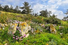 Spring flowering in the Lower Galilee, Israel. Landscape with blooming cyclomenes in a forest glade, spring flowering in the Lower Galilee, Israel royalty free stock photography
