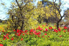 Spring flowering in the Lower Galilee, Israel. Red poppies in a forest glade, spring flowering in the Lower Galilee, Israel royalty free stock photo