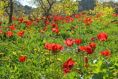 Spring flowering in the Lower Galilee, Israel. Red poppies in a forest glade, spring flowering in the Lower Galilee, Israel royalty free stock photos