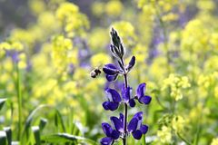 Spring flowering lupine Royalty Free Stock Photography
