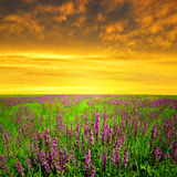 Spring flowering meadow. At sunset Stock Photography